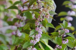 10月の花 ムラサキシキブ 紫式部